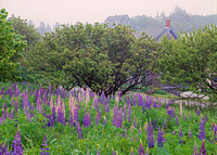 Lupine in Fog